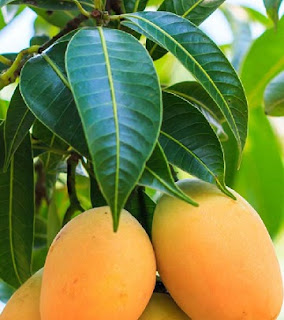 Health Tip: How Mango Leaves Can Magically Cure Diabetes, Hypertension, Others - Prof. Adeniji
