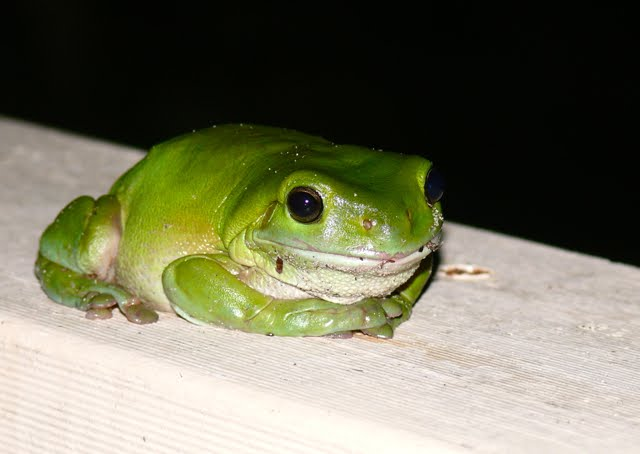 Common Green Treefrog