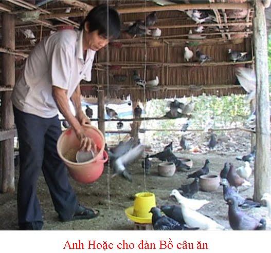 CHĂN NUÔI MIỀN TÂY NAM BỘ: Mô Hình Nuôi Chim Bồ Câu Làm Giàu