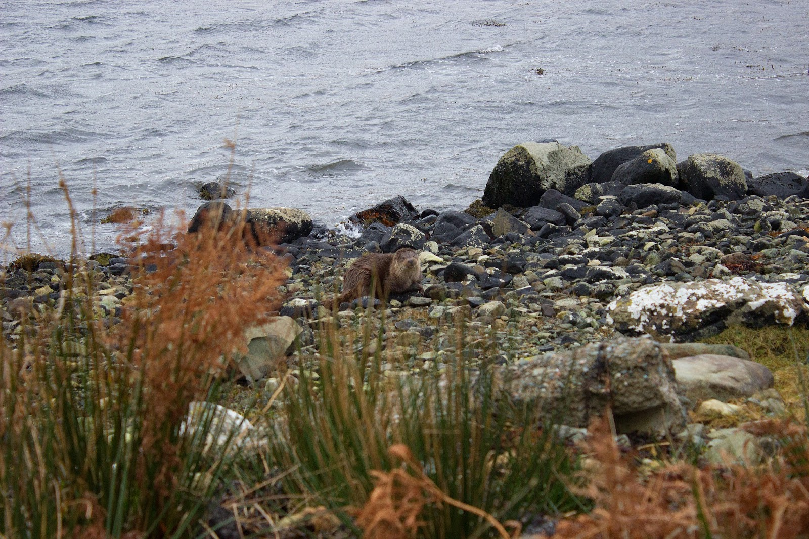 otter isle of mull scotland sea animals