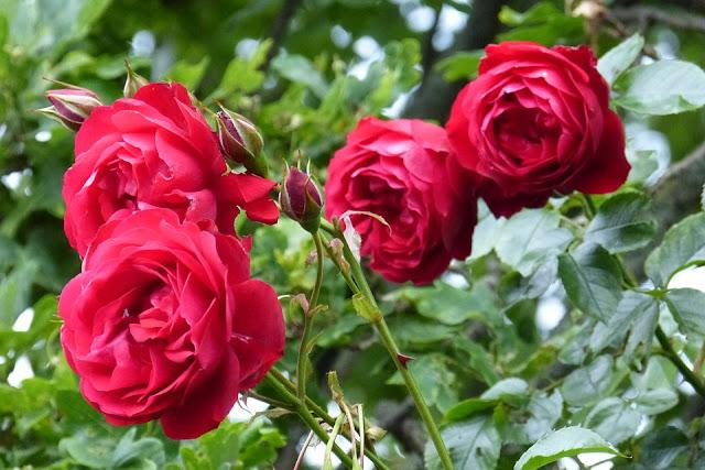 Cultivarea trandafirului
