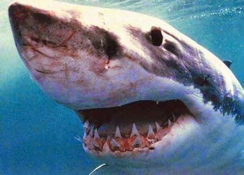 ฉลามขาวยักษ์ (Great White Shark)
