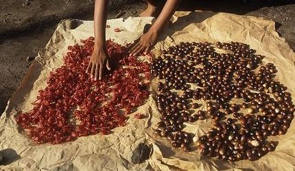 Growing Hermione's Garden: The Notorious Nutmeg - Myristica