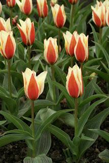 Tulipes Greigii - Tulipa Lady Diana - Tulipe Lady Diana - Tulipe Greigii Lady Diana - Tulipe de Greig