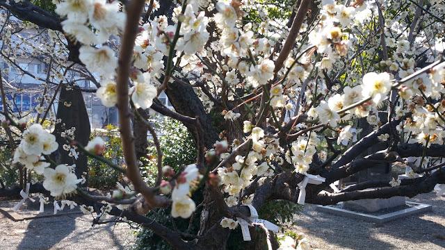 杉山神社の拝殿横の梅の木