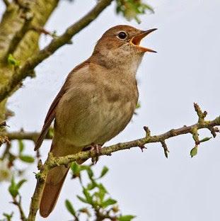 Ciri Ciri Fisik Dan Perbedaan Burung Sikatan Londo Betina Dan Jantan Paling Akurat