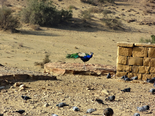 Peacock at Khaba Fort - Jaisalmer, Rajasthan - Pick, Pack, Go