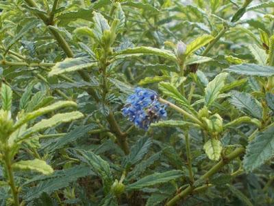 Ceanothus Plants flowering in winter weird weather Green Fingered Blog