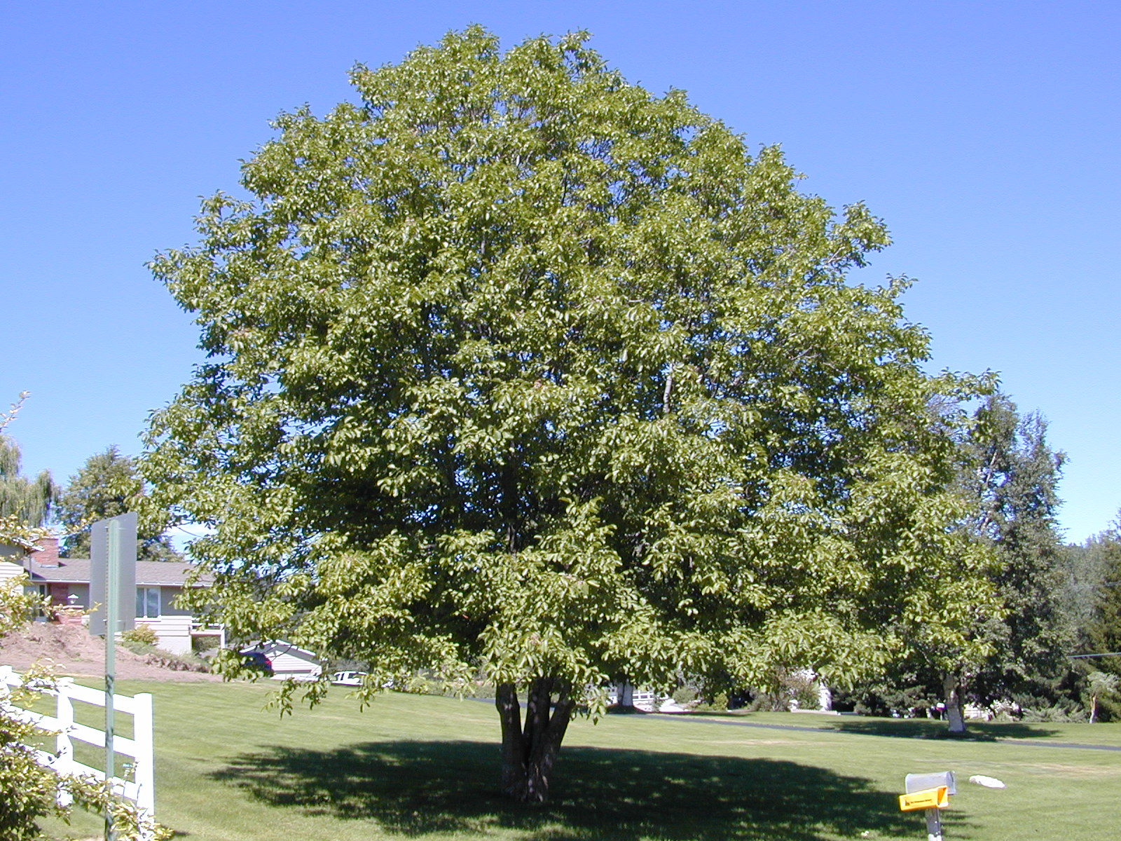 Trees of Santa Cruz County: Juglans regia - English Walnut
