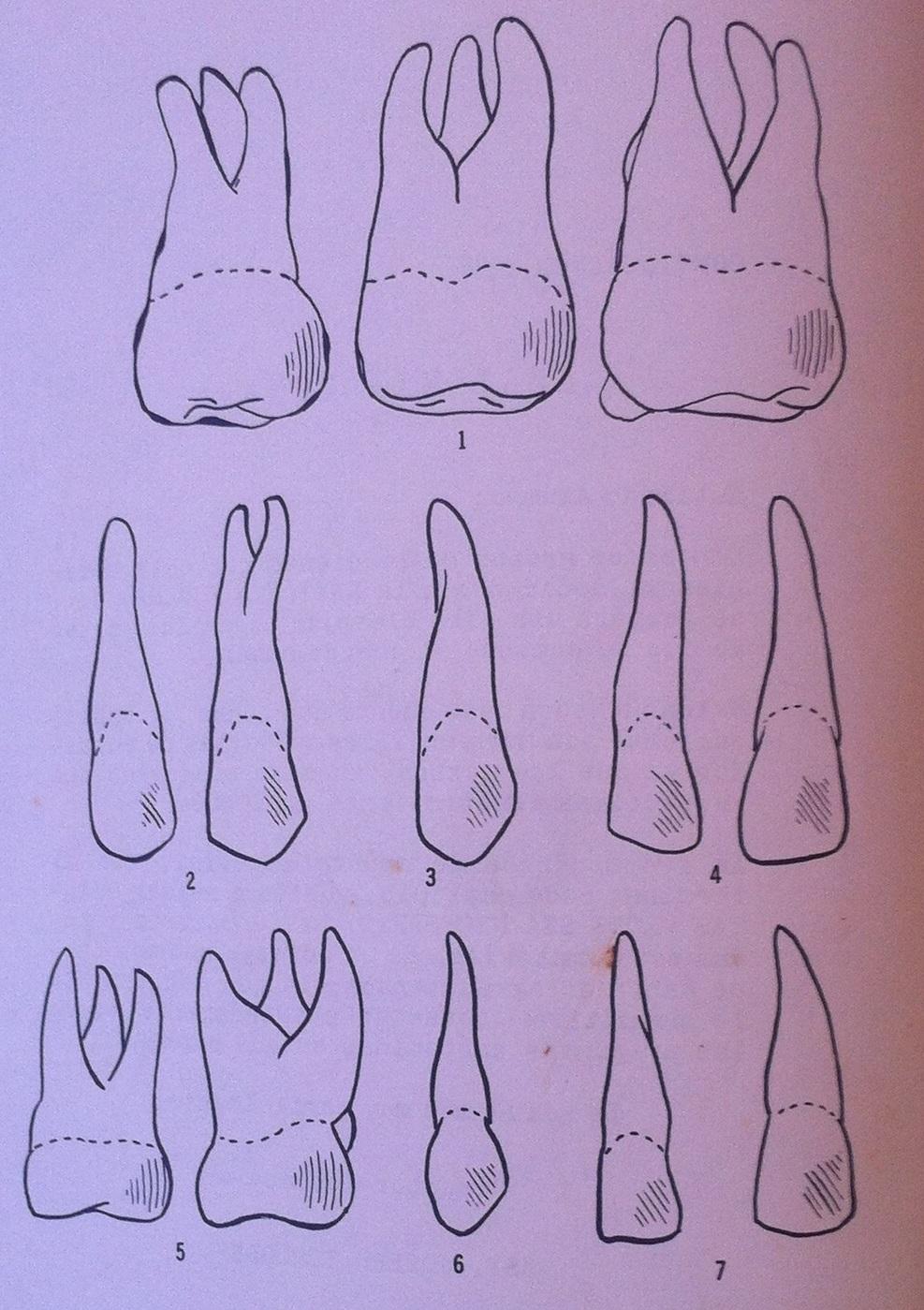 ANATOMIA DENTAL ~ Cursos de Enfermeria