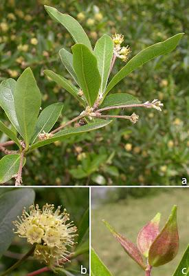 arboles nativos Palo amarillo Terminalia australis