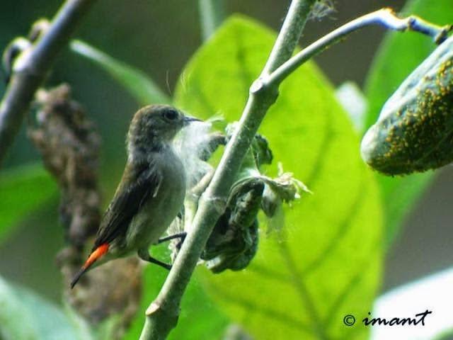 Tips Cara Merawat Burung Bancit Suara Nyaring Gacor