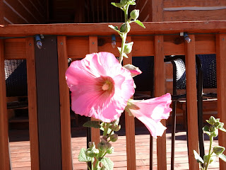 Pink hollyhock growing along the deck railing.