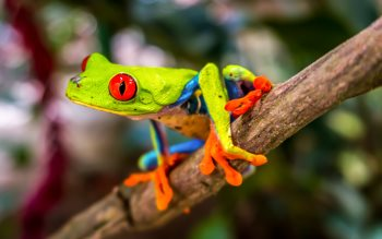 Wallpaper: Red-eyed tree frog