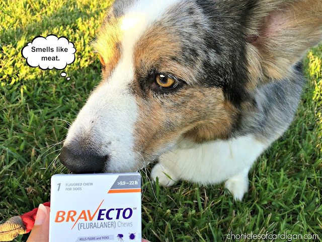 Corgi sniffing box of Bravecto