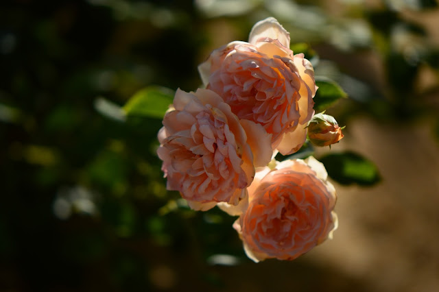 "Rose ""Crown Princess Margareta"", Desert garden, July bloom"