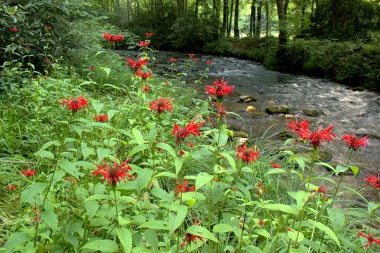 Bees balm in Cataloochee Valley along Rough Fork