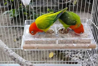 Lovebird Biola Euwing Green