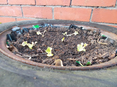 How to stop slugs eating your lettuce without using chemicals The Green Fingered Blog