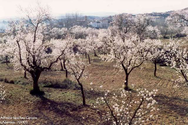 almendro-flor-torrebaja-valencia