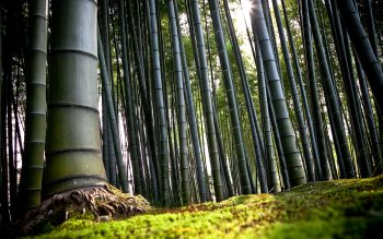 Wallpaper: Bamboo Forest