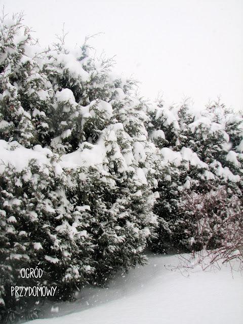 tuje w śniegu