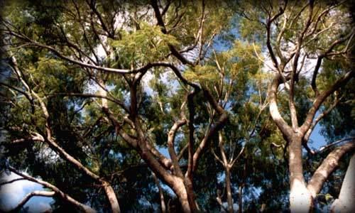 Ecuador forestal for Cuantos tipos de arboles hay en el mundo