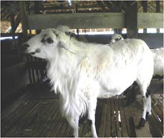 Domba Komposit Sumatera