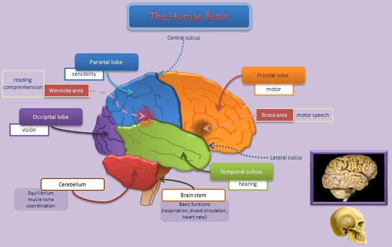 Educative diagrams: The Human Brain