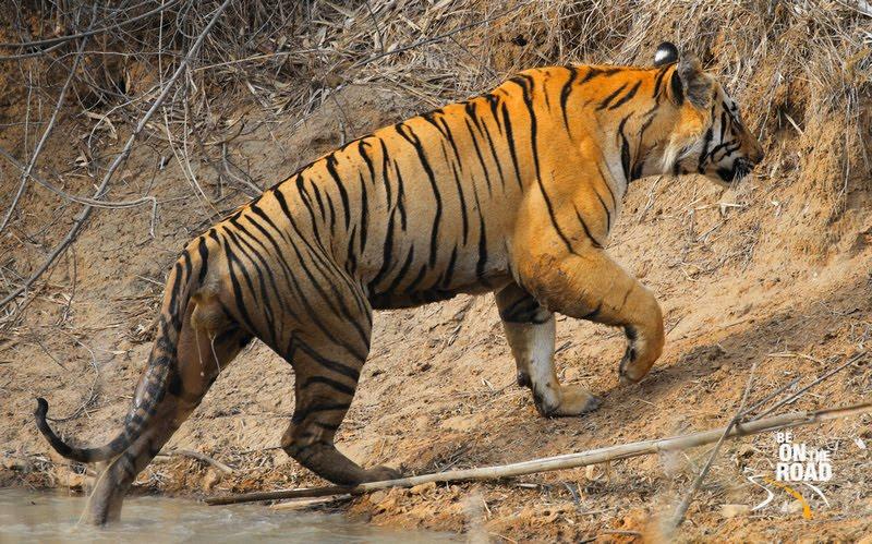During a wildlife safari in the tiger reserves of Madhya Pradesh