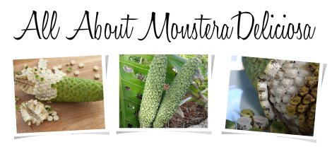 how to grow monstera from seed