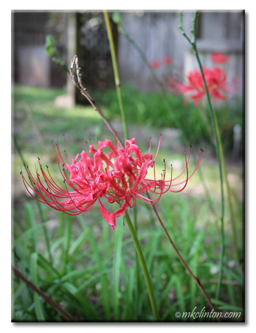 View of red spider lilies in flower bed.