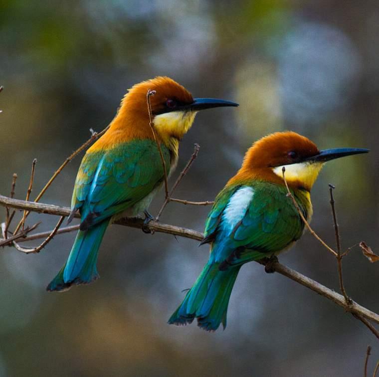 Chestnut-headed bee-eater photos | Birds of India | Bird World - photo#7
