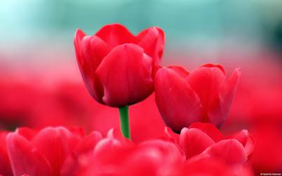 صور ورد وأزهار مميزة red_tulips-wide.jpg