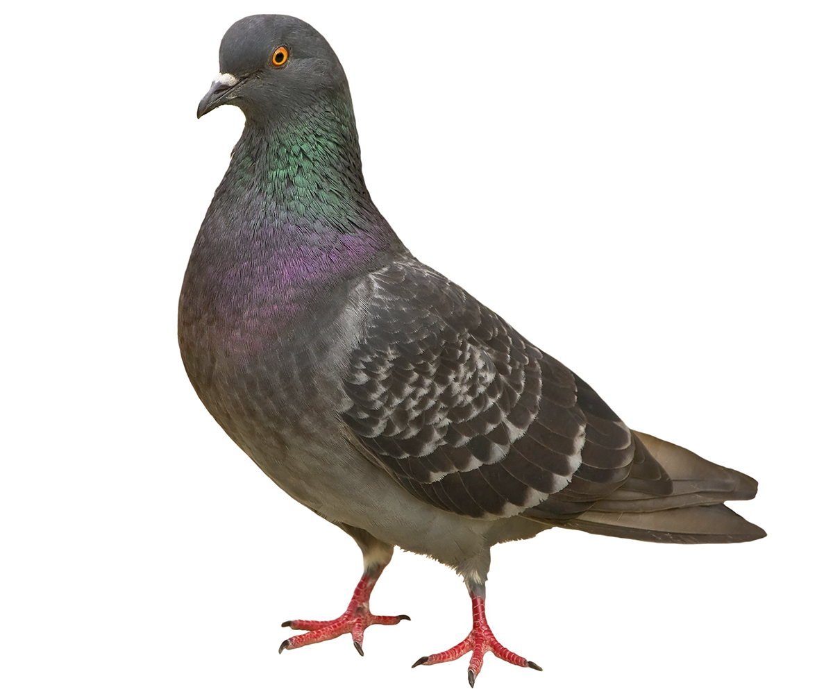 Картинка голубя без фона