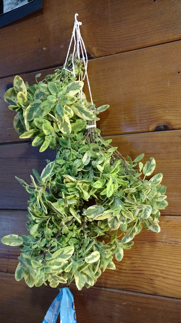 Golden Sage bundles for drying
