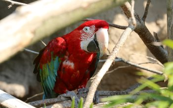 Wallpaper: Scarlet Macaw Parrot