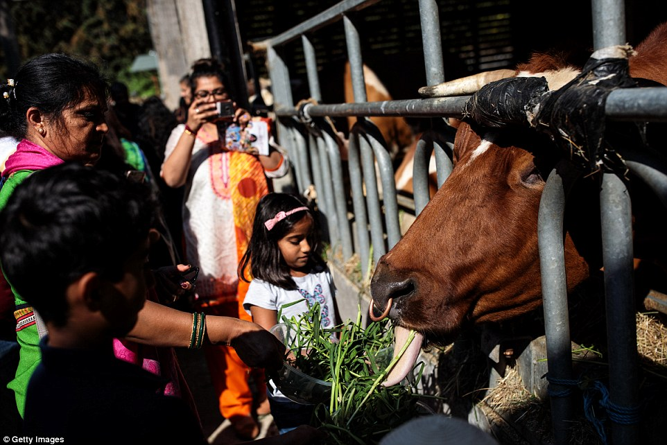 Visitors fed cows which were brought in for the festival. Bhaktivedanta, was established in 1973 by A.C. Bhaktivedanta Swami Prabhupada on an estate donated to The Hare Krishna Movement by the late Beatle, George Harrison