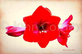 Red Amaryllis after Georgia O'Keeffe