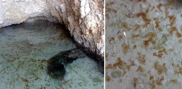 Καραδοκεί ο εφιάλτης στον Κορινθιακό - «Αποικία» από τσούχτρες βρέφη κοντά στην Ψάθα