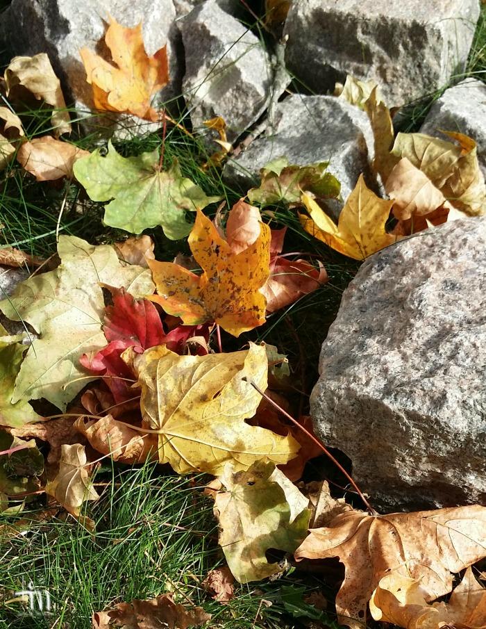maahan tippuneet vaahteranlehdet syksyllä