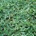 Pengalaman Beli Rumput Murah Di Nursery Sungai Buloh