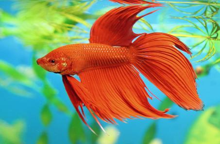 Info habitat ikan cupang