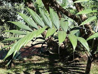 Chambeyronia macrocarpa - Palmier de Houailou - Palmier de Chambeyron