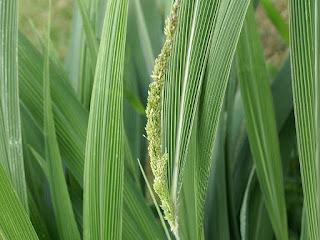 Sétaire à feuille de palmier - Setaria palmifolia