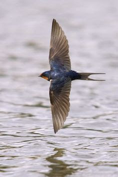 swallow from wikipedia