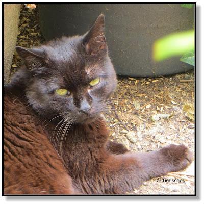 Schwarze Katze, Rambo