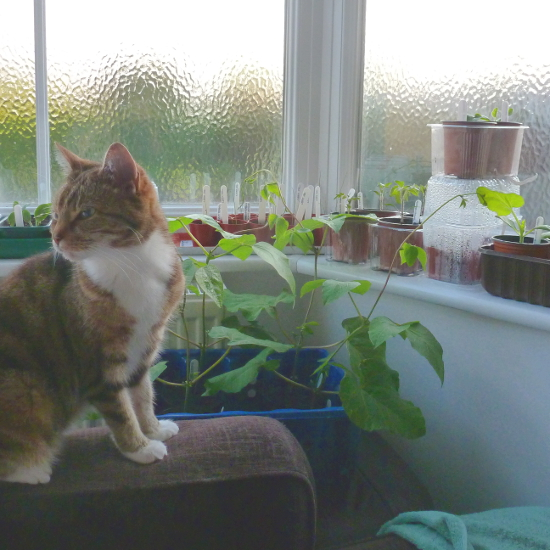 Cat in windowsill with plants and vegetables growing