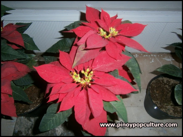 poinsettia, flowers, Christmas