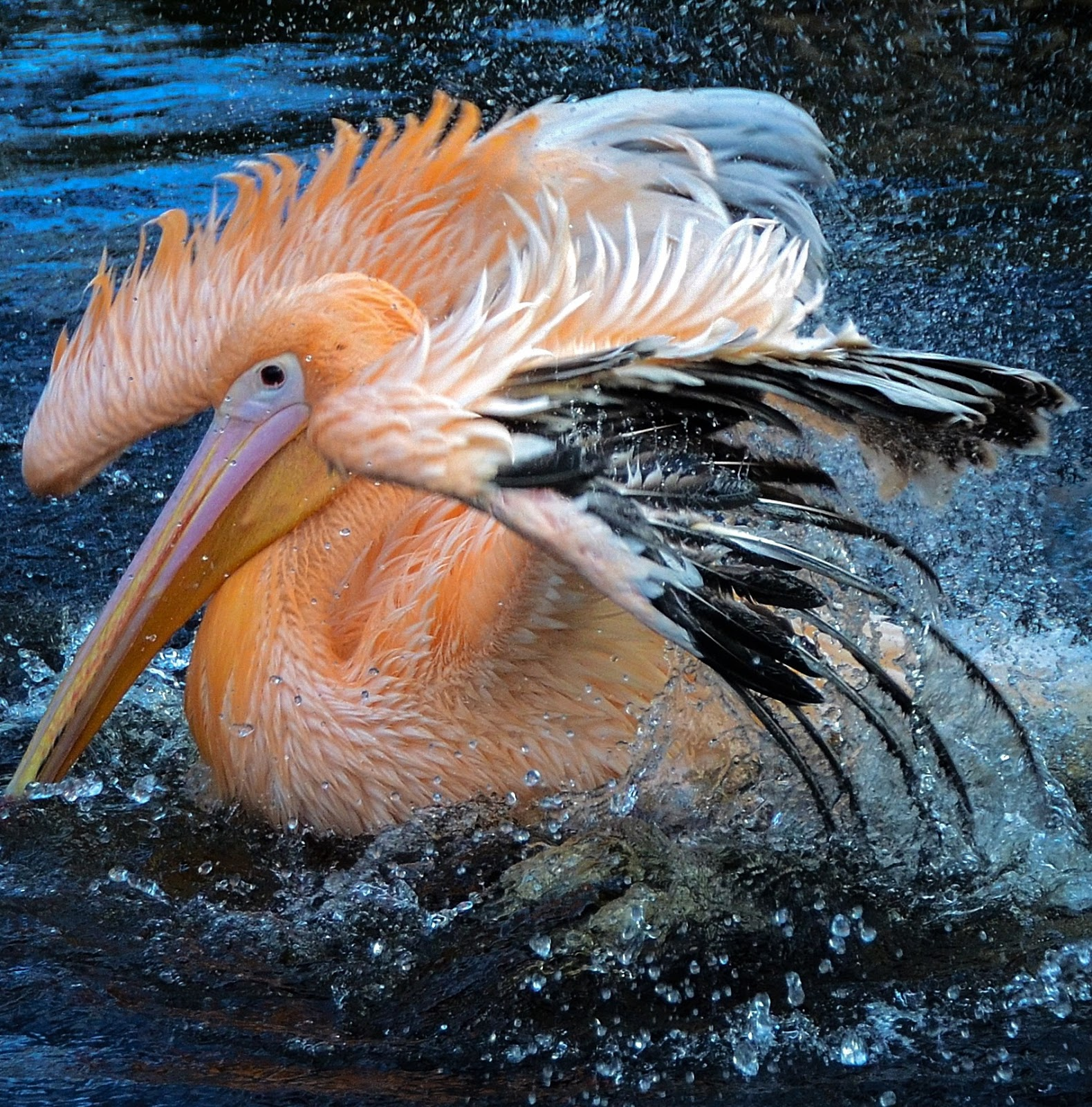 Picture of a pelican taking a bath.